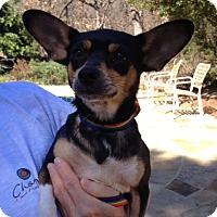 Adopt A Pet :: Katie - Bedford, TX