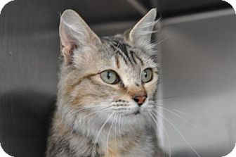 Domestic Mediumhair Cat for adoption in Alamogordo, New Mexico - September