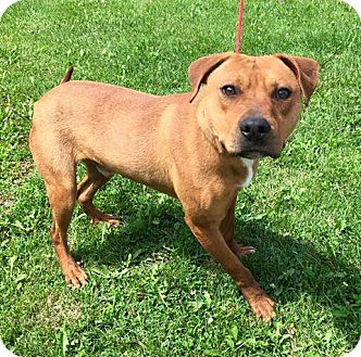 Pit Bull Terrier Mix Dog for adoption in Muscatine, Iowa - Bear