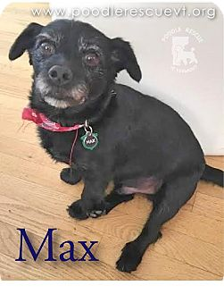 Poodle (Miniature)/Yorkie, Yorkshire Terrier Mix Dog for adoption in Essex Junction, Vermont - Max