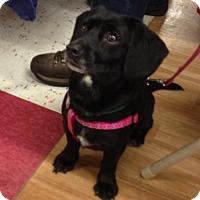 Adopt A Pet :: Pumpkin - ADOPTED - Livonia, MI