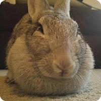 Adopt A Pet :: Audrey Hepbun - Woburn, MA