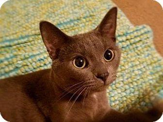 Russian Blue Cat for adoption in Eldora, Iowa - Ellie