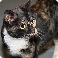 Calico Cat for adoption in Marietta, Ohio - Julianne (Pregnant/Combo'd)