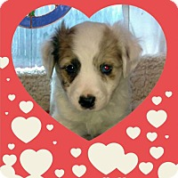 Adopt A Pet :: Valentine Litter: Sweet Talk - Akron, OH