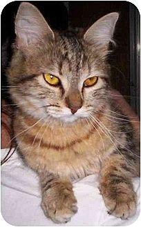 Domestic Mediumhair Cat for adoption in Lake Arrowhead, California - Gingerale
