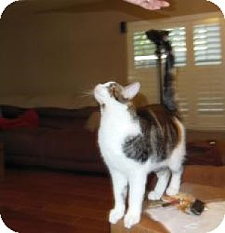 American Shorthair Cat for adoption in Mission Viejo, California - Samba