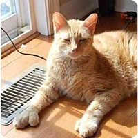 Adopt A Pet :: Gorgeous, Gold, Polydactyl! - Elkton, MD