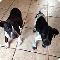 Adopt A Pet :: Chase - Marlton, NJ