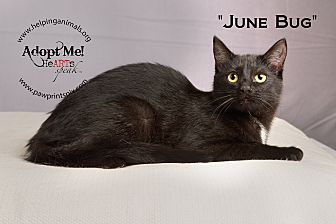 Domestic Shorthair Cat for adoption in St. Charles, Illinois - June Bug