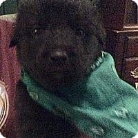 Adopt A Pet :: Bear - Rochester, NY