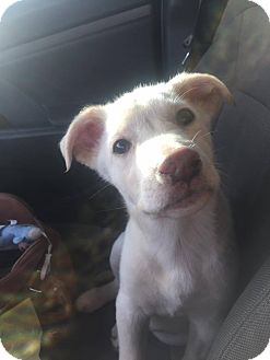 Labrador Retriever Mix Puppy for adoption in ST LOUIS, Missouri - Twinkie