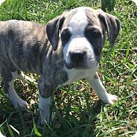 Adopt A Pet :: Liesl Von Trapp - Columbia, MD