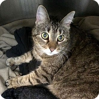Domestic Shorthair Cat for adoption in Fairfax, Virginia - Frodo