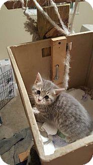 Domestic Shorthair Kitten for adoption in Florence, Kentucky - Sammy