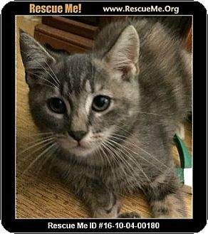Maine Coon Kitten for adoption in Waldorf, Maryland - Rain