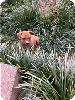 Pit Bull Terrier/Boxer Mix Puppy for adoption in Harrisonburg, Virginia - Mango
