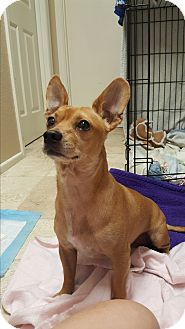 Chihuahua Mix Dog for adoption in Mesa, Arizona - JACK