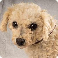 Bichon Frise Dog for adoption in Colorado Springs, Colorado - Cricket