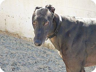 Greyhound Dog for adoption in Aurora, Ohio - Boyd