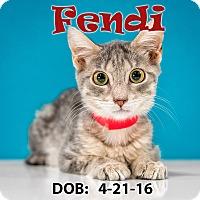 Domestic Shorthair Kitten for adoption in Chandler, Arizona - Fendi
