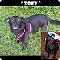 Adopt A Pet :: Zoey - Madison, AL