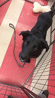 Labrador Retriever Mix Puppy for adoption in Smithtown, New York - Ralphy