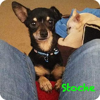 Chihuahua Dog for adoption in Gulfport, Mississippi - Stoche