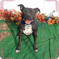 Pit Bull Terrier/American Pit Bull Terrier Mix Dog for adoption in Marietta, Georgia - MAMA