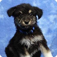 Adopt A Pet :: FRANK - Westminster, CO