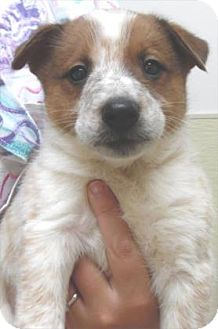Australian Cattle Dog Mix Puppy for adoption in Waupaca, Wisconsin - Maize