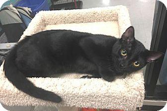 Bombay Kitten for adoption in San Juan Capistrano, California - Whiskers