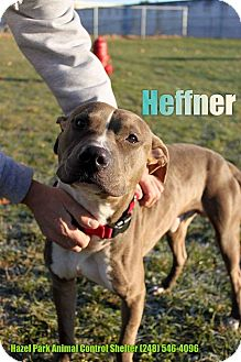 Terrier (Unknown Type, Medium)/Weimaraner Mix Dog for adoption in Warren, Michigan - Hefner at Hazel Park