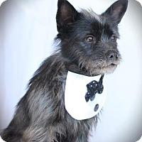 Adopt A Pet :: PePe - Carrollton, TX