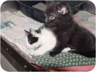 Domestic Shorthair Kitten for adoption in Marshalltown, Iowa - Bailey