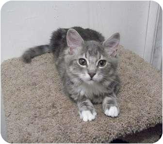 Domestic Mediumhair Cat for adoption in Modesto, California - Rafiki