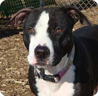 American Pit Bull Terrier Mix Dog for adoption in Red Bluff, California - Star-URGENT