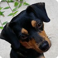 Adopt A Pet :: Annabelle-Adoption pending - Bridgeton, MO