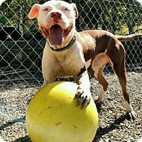 Adopt A Pet :: Jojo (ETAA) - Spring Valley, NY