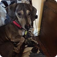 Adopt A Pet :: Atticus - Decatur, GA