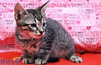 Domestic Shorthair Cat for adoption in Sebastian, Florida - Oak