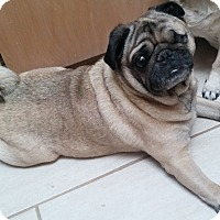 Pug Dog for adoption in Grapevine, Texas - Henderson