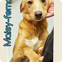 Adopt A Pet :: Maisy (REDUCED FEE!) - Allentown, PA