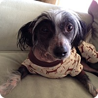 Adopt A Pet :: Tsunami-adoption pending - Mississauga, ON