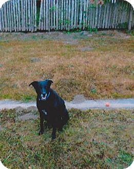 Labrador Retriever Mix Dog for adoption in Arcata, California - Charlie