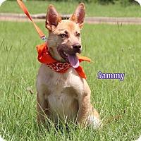 Adopt A Pet :: Sammy - Charlemont, MA