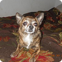 Chihuahua Dog for adoption in haslet, Texas - amigo