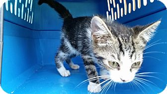 Domestic Shorthair Kitten for adoption in Ocala, Florida - KITTENS!!!! 12 WEEKS OLD