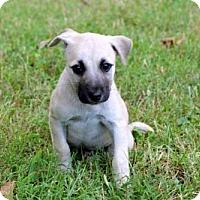Adopt A Pet :: PUPPY LITTLE OLIVER - richmond, VA
