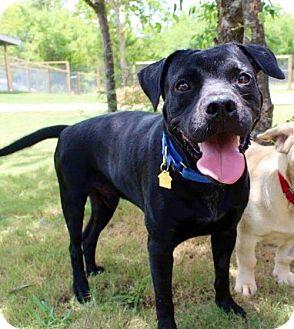 Terrier (Unknown Type, Medium)/Labrador Retriever Mix Dog for adoption in Dallas, Texas - Theo